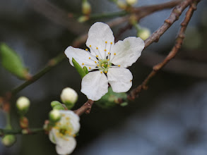 Photo: Priorslee Lake The first blossom of Spring: on Blackthorn. (Ed Wilson)