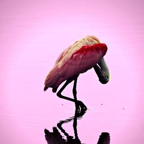 Spoonbill by Jeremy Barton - Animals Birds ( bird, nature, florida, pink, spoonbill,  )