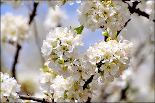 Mộc Châu trắng tinh màu hoa mận