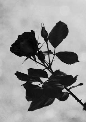 Rosa senza colore di angel