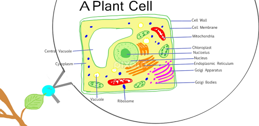 Plant cell diagram with lysosomes information of wiring diagram a plant cell words typography pixoto rh pixoto com plant cell and animal cell diagram plant cell cell wall ccuart Choice Image