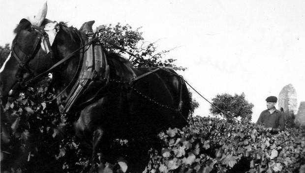 vendanges-avec-un-cheval