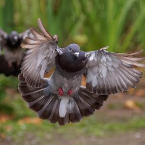 Pigeon Dare by Raphael RaCcoon - Animals Birds ( pigeons, pigeon, bird )