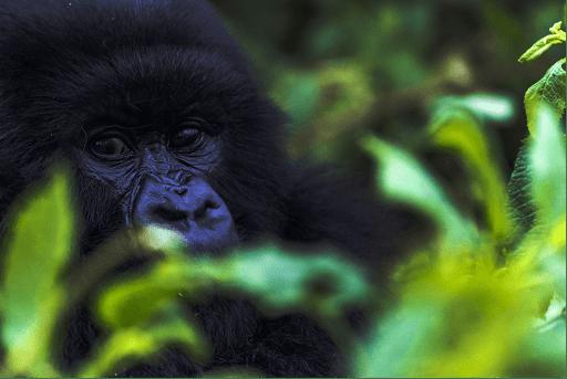 Rituel Café - Gorilla Conservation Coffee
