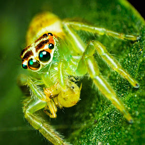 Green Jumper by Shohibul Huda - Animals Insects & Spiders ( macro photography, indonesia, jumping spider, spider, insect, close up, animal )