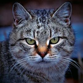 A hard stare by Sue Delia - Animals - Cats Portraits ( wild, cat, stare, tabby, feral,  )