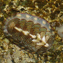 Lined Chiton