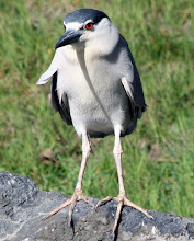 Photo: Black Crested Night Heron - looking at me like I'm the weird one, when he's the one with the big feet.