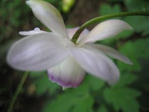 Photo: レンゲショウマ(キンポウゲ科) 2008.08.04