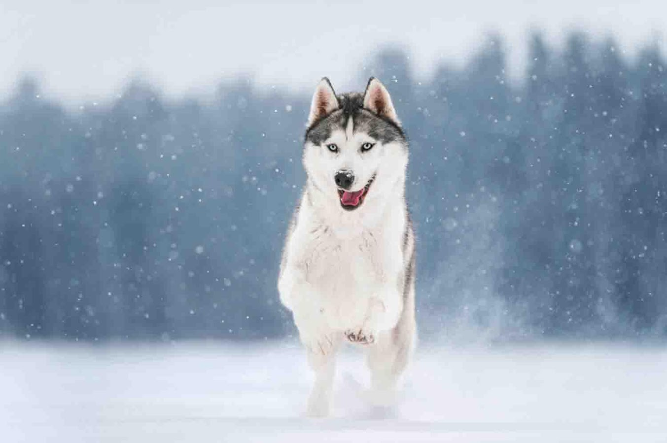 Cute Husky Wallpaper - Android Apps on Google Play