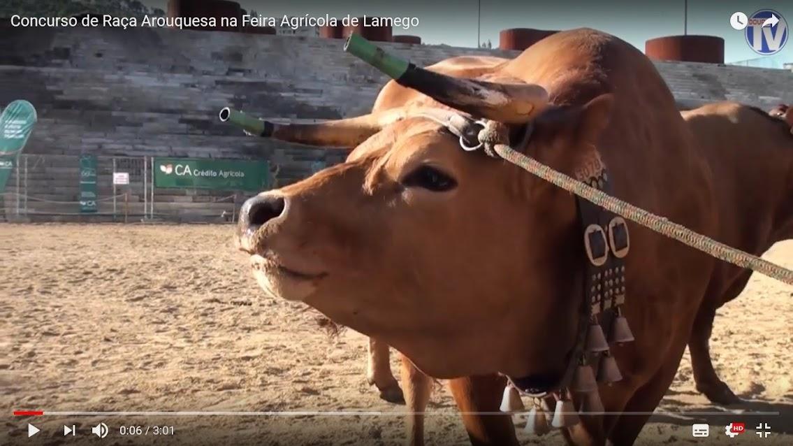 Vídeo - Concurso de Raça Arouquesa na Feira Agrícola de Lamego