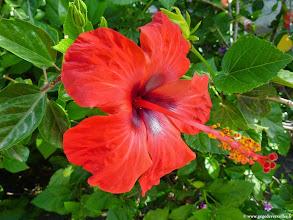 Photo: #010- Hibiscus dans le village du Club Med de Bodrum Palmiye