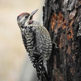 Wood Pecker by Mark Perkins - Animals Birds ( bird, woodpecker )