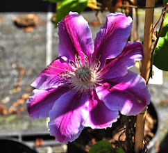 Photo: Clematis 'Dr.Ruppel' closeup