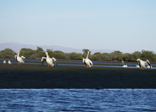 Photo: American white pelicans.