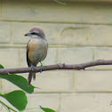 Brown shrike (Kajol Pakhi)-কাজল পাখী