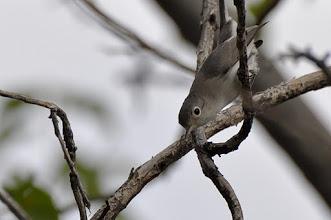 Photo: Blue-grey Gnatcatcher (Blaumückenfänger); Totoltepec de Guerrero, PUE