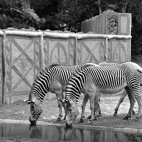 Zebra by David Branson - Black & White Animals (  )