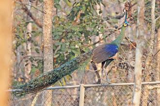 Photo: Green Peafowl
