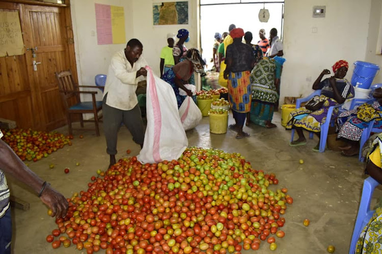 Nyalani farmers harvest tomatoes in Kinango in October