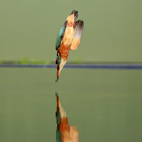 Golden Arrow! by Dave Roberts - Animals Birds ( kingfisher, diving birds,  )