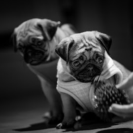 Pug puppies by Malcolm Hare - Animals - Dogs Puppies