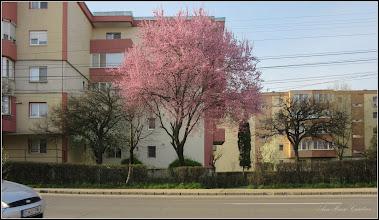 Photo: Corcodus ornamental rosu  (Prunus cerasifera Nigra) - de pe Calea Victoriei - 2018.04.11