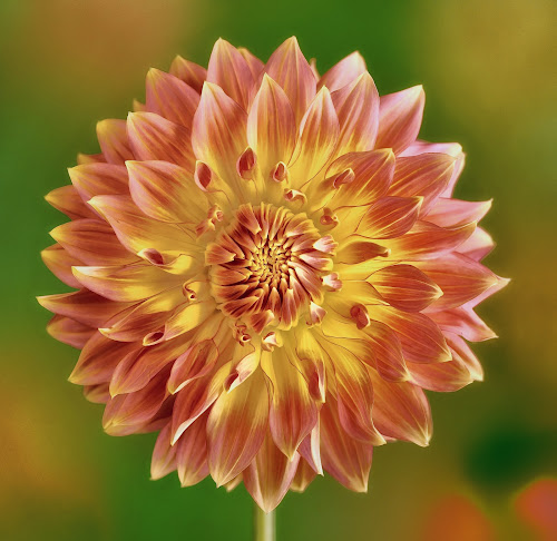 Dahlia #10 by Jim Downey - Flowers Single Flower ( orange, red, green, dahlia, yellow )