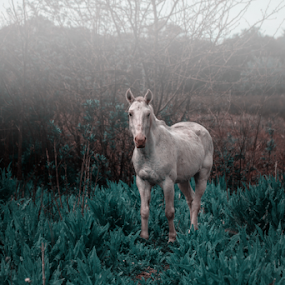 Dreaming of Horses by Edi Libedinsky - Animals Horses ( dreamy, pasture, beautiful, horse, white, quiet,  )