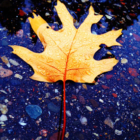 by Keri Zimmerman - Nature Up Close Trees & Bushes ( water, fall leaves on ground, fall leaves, asphalt, fall, leaf )