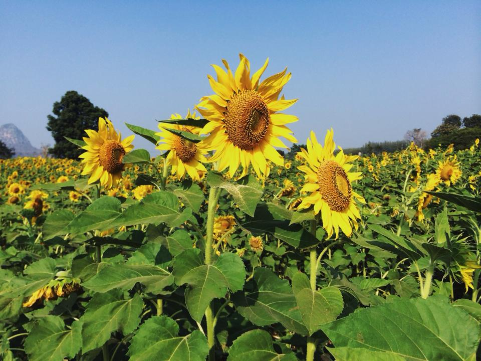 lopburisunflower1.jpg
