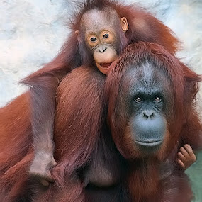 The Protector by Shelly Wetzel - Animals Other Mammals ( orangutan )