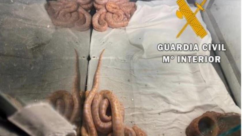 Ejemplares intervenidos por la Guardia Civil.