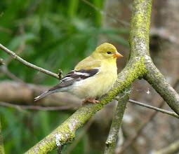 Photo: Female American Goldfinch
