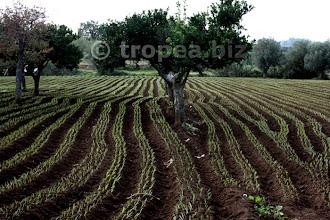 Photo: Capo cipolle rosse di Tropea