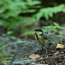 Photo: Great tit fledgling (Parus major)