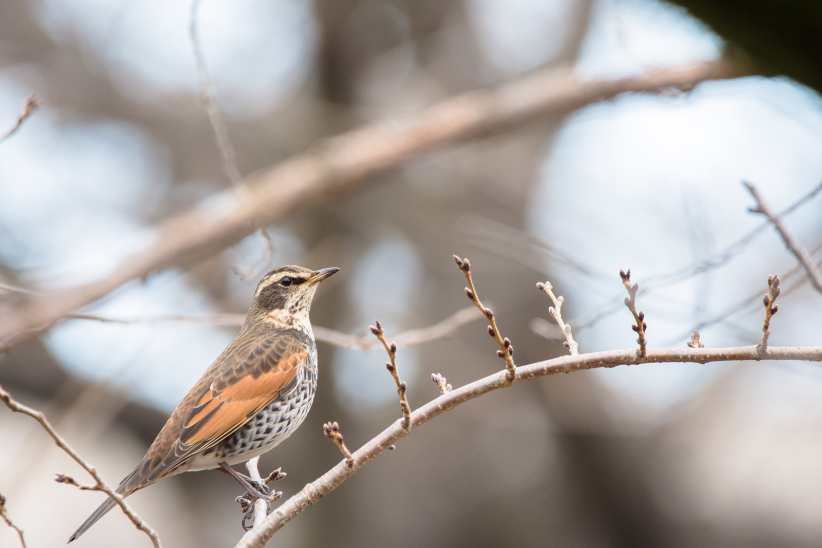 Photo: 「待ってるよ」 / Looking Forward to the Bloom.  あっちからこっちから 少しずつ形を現す蕾たち ゆっくりゆっくりね その時をじっと待ってるよ  Dusky thrush. (ツグミ)  Nikon D7200 SIGMA 150-600mm F5-6.3 DG OS HSM Contemporary  #birdphotography #birds #kawaii #nikon #sigma #小鳥グラファー  ( http://takafumiooshio.com/archives/753 )