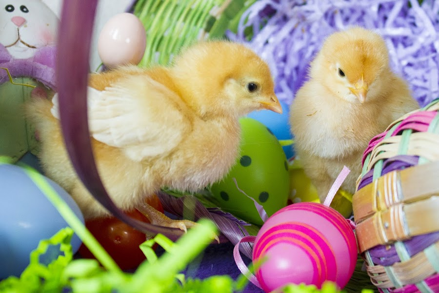 by Brandi Nichols - Public Holidays Easter ( bird, farm, easter, poultry, chickens, birds, chicks,  )