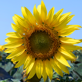 nice sunflower by LADOCKi Elvira - Flowers Flowers in the Wild ( nature, flowers, garden,  )