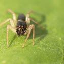 Dimorphic Jumping Spider