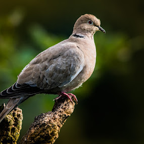 Dove by Jim Keating - Animals Birds ( bird, grey, woodland, perch, dove,  )