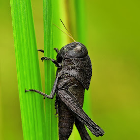 The Black Grasshopper by Irfan Marindra - Animals Insects & Spiders