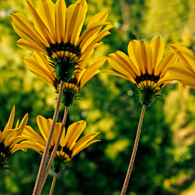 Lovely Sunflowers by Debopam Banerjee - Nature Up Close Flowers - 2011-2013 ( nobody, birthday, gift, warm, seasonal, bright, botany, petals, ecosystem, sunflower, yellow, beauty, pretty, spring, blossom, close, decor, love, open, sky, pollen, fragrant, nature, clean, black, flower, isolated, wild, valentines, bee, blooming, decoration, flora, beautiful, bloom, farming, close-up, easter, environment, season, color, outdoors, background, stalk, day, garden, floral )