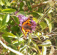 Photo: This guy was down on the old station yard at Skegness with hundreds of Peacock butterflies and Cabbage Whites.