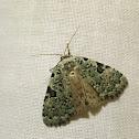 Funerary Dagger Moth