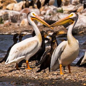 Two of us by Paul Drajem - Animals Birds ( seabirds, nature, water fowl, big birds, pelicans, wildlife, birds,  )