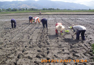 Photo: Transplanting 10-day old seedlings one by one into the trial plot.