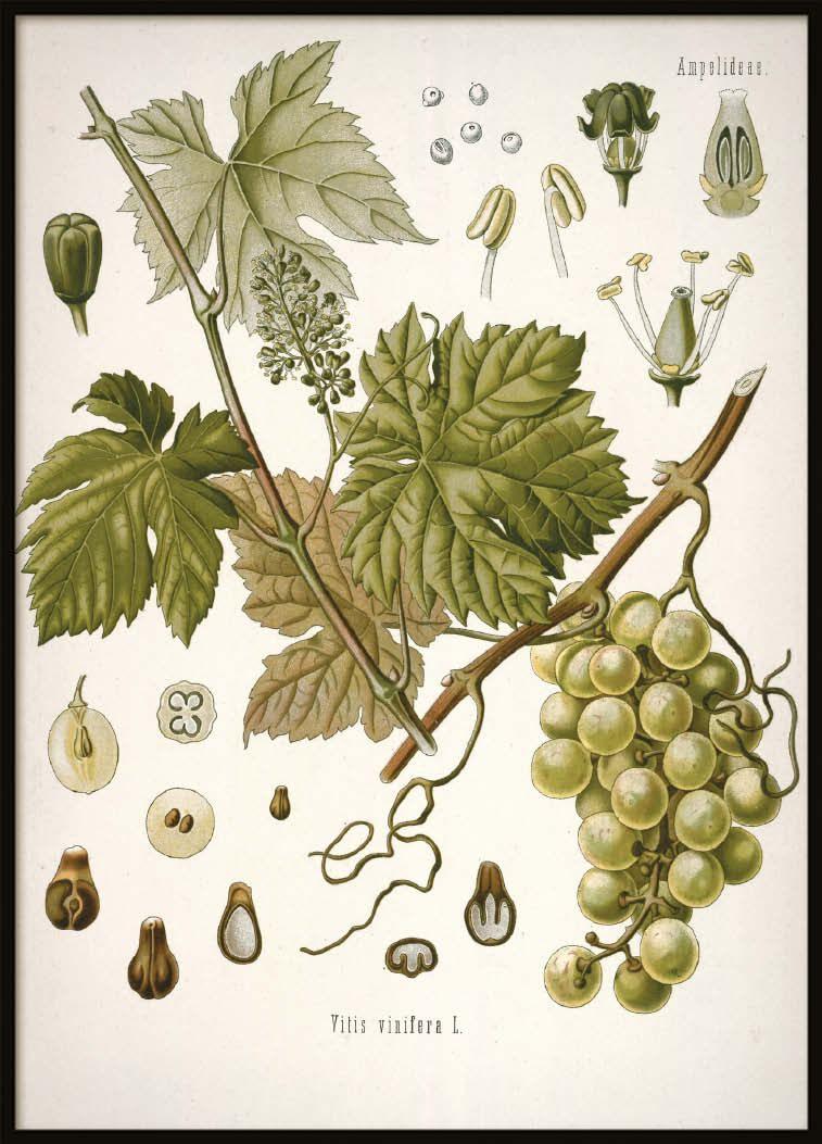 Vintage Grape, Poster
