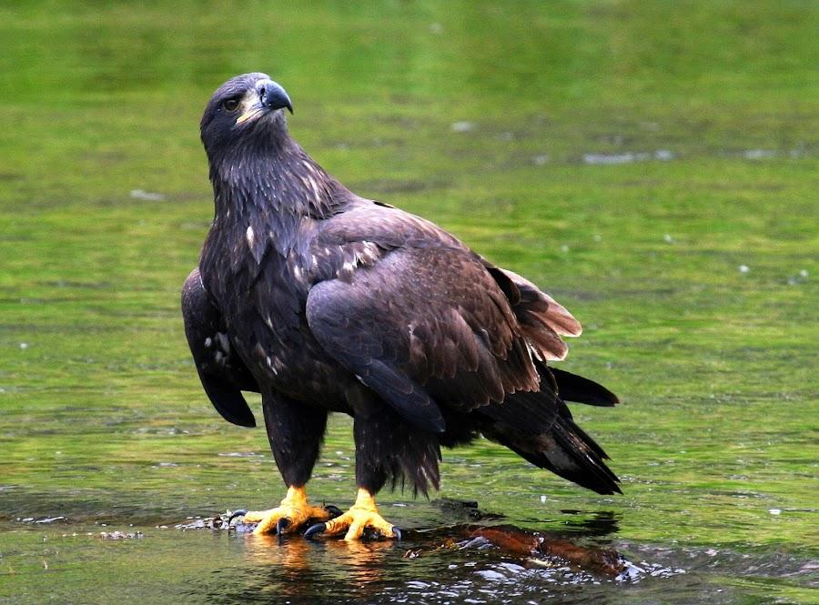 by Brandi Nichols - Animals Birds ( golden eagle bird yellowstone national park montana wyoming nature wildlife bird of prey )