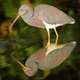 Tricolored Reflections! by Anthony Goldman - Animals Birds ( tampa, bird.heron, reflection, retention pond, water, wild, wildlife )